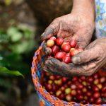 Manos de cortadora de café anciana con granos cereza rojos