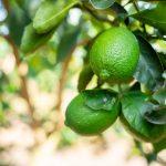 Acercamiento limón fruto campo