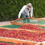 Trabajador colocando camas para secado de café cereza