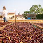 Trabajador café camas de secado al sol café cereza especialidad